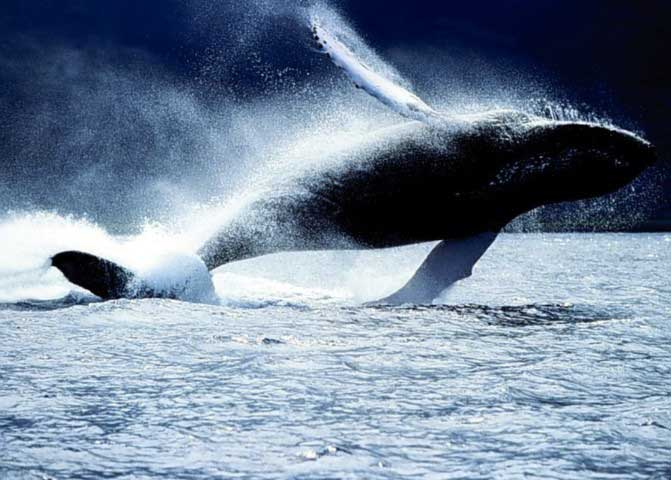 whale watching alle Azzorre